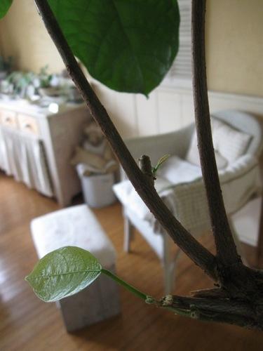 あら♪気がつかないうちにピンポンの木に新芽が♪.jpg