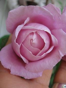 このバラの香りは最高です♪.jpg