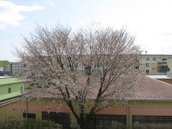 そそと咲く山桜が好きです♪.jpg