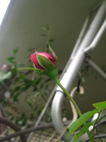 もう直ぐ咲きます♪.jpg