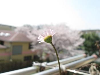エリゲロン 君は桜を見てるのかい?.jpg