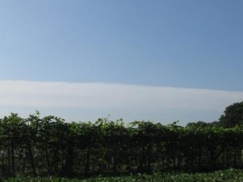 ブドウ畑の向こう 真っ直ぐな雲.jpg
