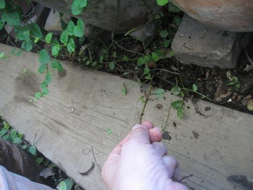 ベランダにこぼれた土に根を張るプミラ.jpg