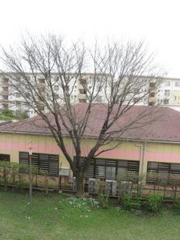 ベランダ正面のこの山桜が咲きます♪.jpg