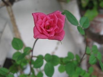 ミニバラも咲いた♪.jpg
