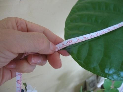 一番大きい葉っぱ 42センチ!!.jpg