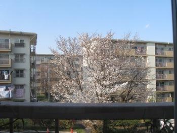 仕事机から外を見る 桜満開 明るいわけだ!.jpg