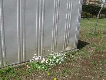 倉庫の横 捨てた土から韮の花が咲いた♪.jpg
