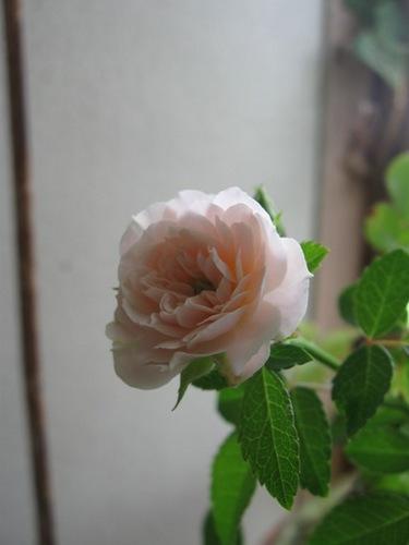 前日の蕾が今朝は咲いていました♪.jpg