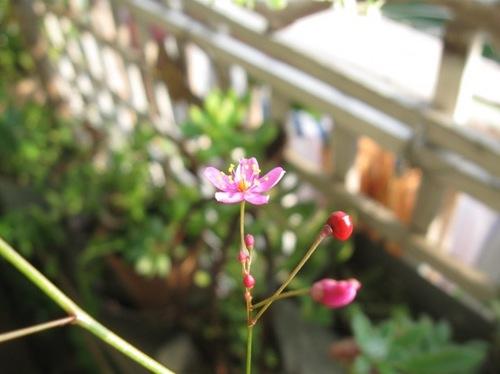 午後咲く花 まだまだ咲きます♪.jpg