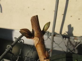 去年みゆきからもらったアジサイ 芽が出ました♪.jpg