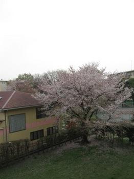 右手の桜が終わったら.jpg