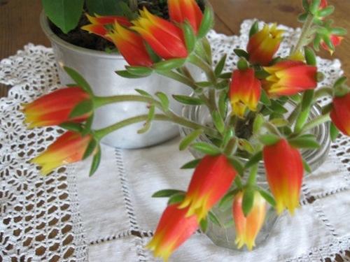 多肉の花? たくさん咲いたので・・・。.jpg