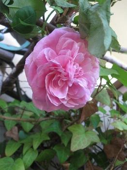 大輪のバラが2輪お出迎え♪ありがとう^;^.jpg