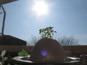 太陽浴びて 芽が育つ.jpg