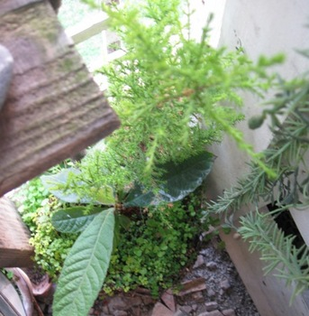 枇杷の木が育っています.jpg