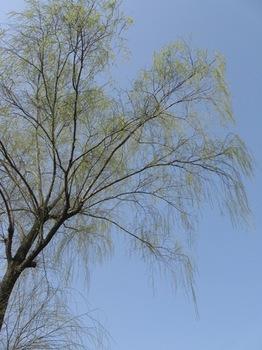 柳の葉が芽吹いて綺麗♪.jpg