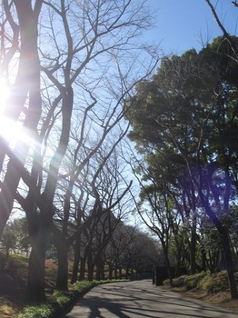 桜のトンネルになる道を通り.jpg