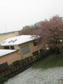 桜散り 雪が降るって・・・@:@.jpg
