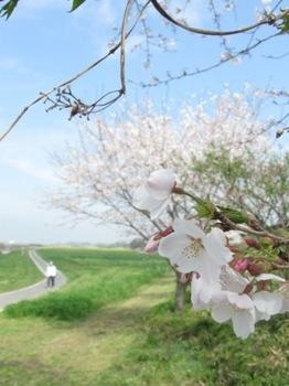 桜見守るウオーキングロード.jpg