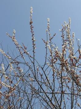 梅に水色の空がよく似合う.jpg