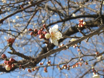 梅~は~さいぃいたかぁ~桜はぁまだかいな~♪.jpg