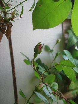 白いミニバラもそろそろ咲き始めます♪.jpg