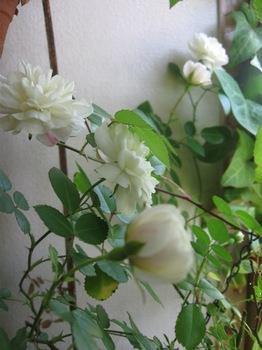 白いミニバラも・・・。.jpg