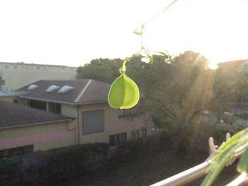 見て!夕日に照らされた風船カズラ・・・.jpg