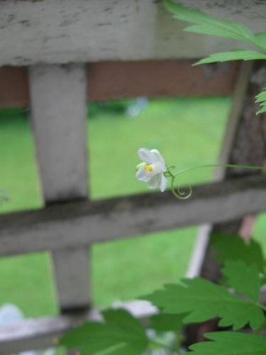風船かずらの花が咲いた 可愛すぎ♪.jpg
