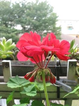 9月27日 鮮やかに咲き始め.jpg