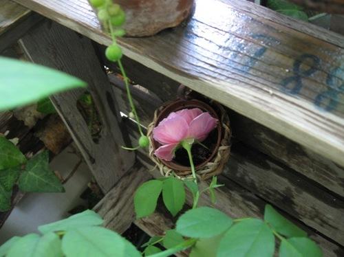 お父ちゃんが籠に隠れているバラを見つけてくれた♪.jpg