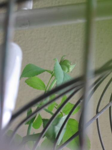 又天井近くにバラの蕾が・・・。.jpg