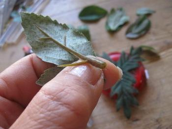 葉は葉脈を剥がします.jpg