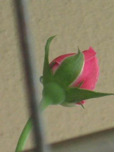 薔薇の蕾 ここまで膨らみました♪.jpg
