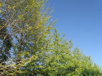 銀杏並木と青空と.jpg
